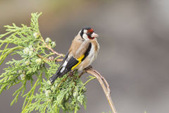 European Goldfinch in summer Stock Photography