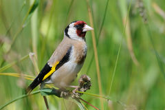 European goldfinch at summer meadow Royalty Free Stock Photography