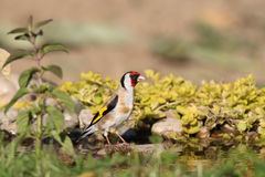 European goldfinch at sunset at the stone Stock Photo
