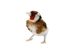 European goldfinch on white Stock Image