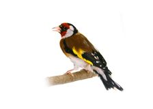 European goldfinch on white Royalty Free Stock Images