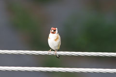 European Goldfinch on a wire Stock Images