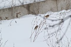 European goldfinches are fed in winter. European goldfinches are fed on the grass in winter royalty free stock photo