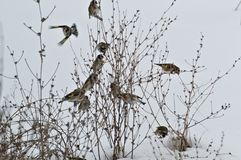 European goldfinches are fed in winter. European goldfinches are fed on the grass in winter stock photo