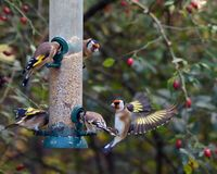 Goldfinches on a bird feeder. European goldfinches or goldfinch Carduelis carduelis flocking around a bird feeder filled with seed Stock Image