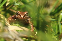 European grass frog Stock Photo