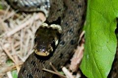 European Grass Snake. Close-up of the European Grass Snake or Ringed Snake (Natrix natrix Stock Photos