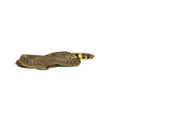European Grass Snake Stock Image