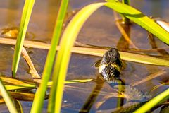 European grass snake in a moor lake. In Poland royalty free stock photography