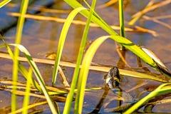 European grass snake in a moor lake. In Poland stock photo