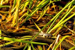 European grass snake in a moor lake. In Poland royalty free stock images