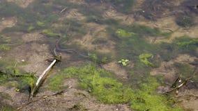 European grass snake Natrix natrix hunting fish near lake shore. Closeup. European grass snake Natrix natrix swimming fast and hunting fish near lake shore stock video