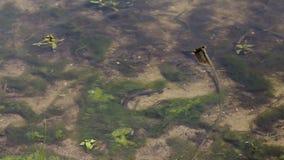 European grass snake Natrix natrix hunting fish near lake shore. Closeup. European grass snake Natrix natrix swimming fast and hunting fish near lake shore stock video footage