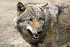 European gray wolf Stock Photos