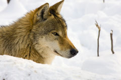 European gray wolf. (Canis lupus lupus) in the snow stock photo