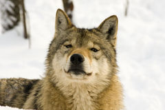 European gray wolf. (Canis lupus lupus) is smelling royalty free stock photo