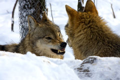 European gray wolf. (Canis lupus lupus) fighting stock image