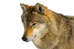 European gray wolf Royalty Free Stock Images