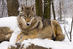 European gray wolf Royalty Free Stock Photos