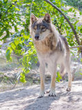 European gray wolf (Canis lupus) Royalty Free Stock Photography