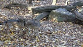 European gray wolf Canis lupus lupus in the forest