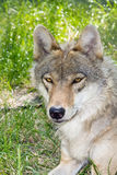 European gray wolf (Canis lupus lupus) Royalty Free Stock Photo