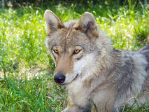 European gray wolf (Canis lupus lupus) Royalty Free Stock Photography