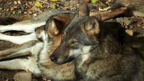 European gray wolves Canis lupus lupus