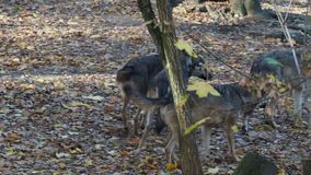 European gray wolves Canis lupus lupus is running in the forest.