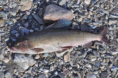 The European grayling. Royalty Free Stock Image