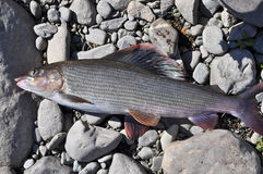 European grayling. Stock Photography