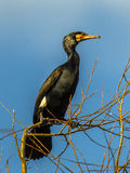 Great Cormorant  in tree Royalty Free Stock Photography