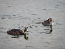 European great crested grebe pair Stock Photo