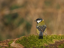 European great tit. On a twig white moss Stock Image