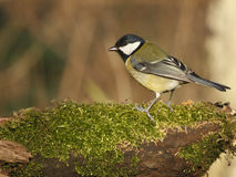 European great tit. On a twig white moss Royalty Free Stock Photography