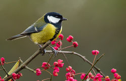 European great tit Royalty Free Stock Image