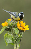 European great tit Stock Images
