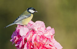 European great tit Royalty Free Stock Images