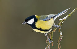 European great tit Stock Photography