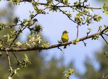 European Green Finch on a branch of a blossoming pear. It`s a bird, no bigger than a Sparrow, but the beak and head are somewhat larger. Green Finch got its royalty free stock photo
