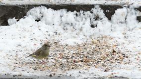European Green finch Carduelis chloris picking up seeds from snow.  stock video footage