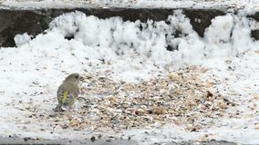 European Green finch Carduelis chloris picking up seeds from snow.  stock footage