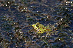 European green frog Stock Photos