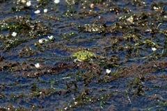 European green frog Stock Photos