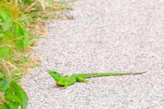 European green lizard Stock Photo