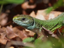 European Green Lizard Royalty Free Stock Image