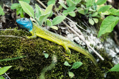 European green lizard is basking Stock Photo