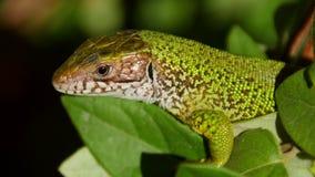 European green lizard stock video