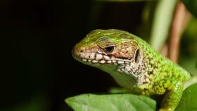 European green lizard stock footage
