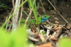 European green lizard Royalty Free Stock Image